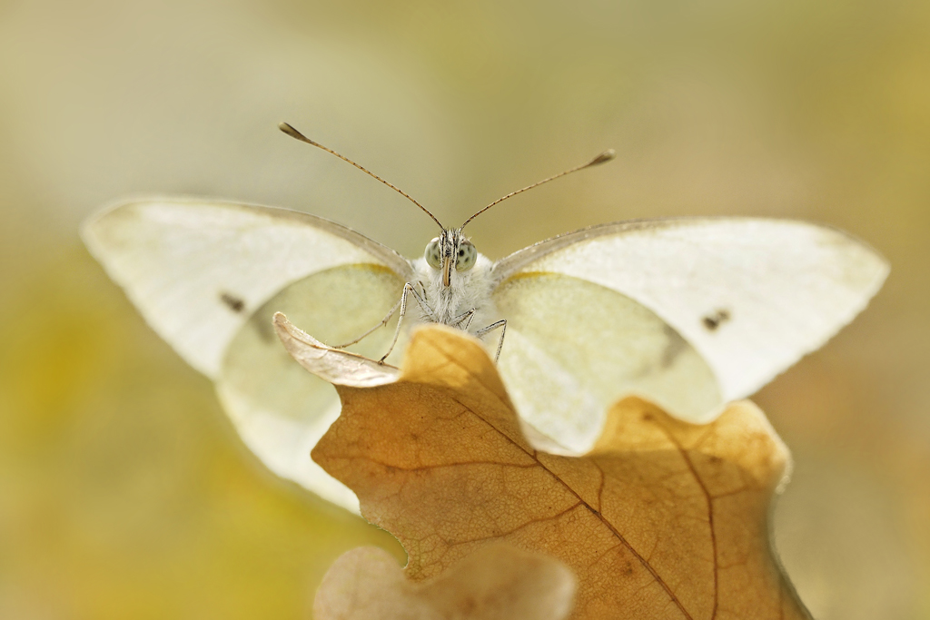 Small Cabbage White