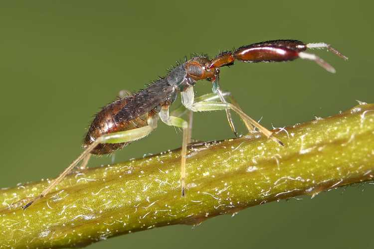 Heterotoma Plantincornis Nymph