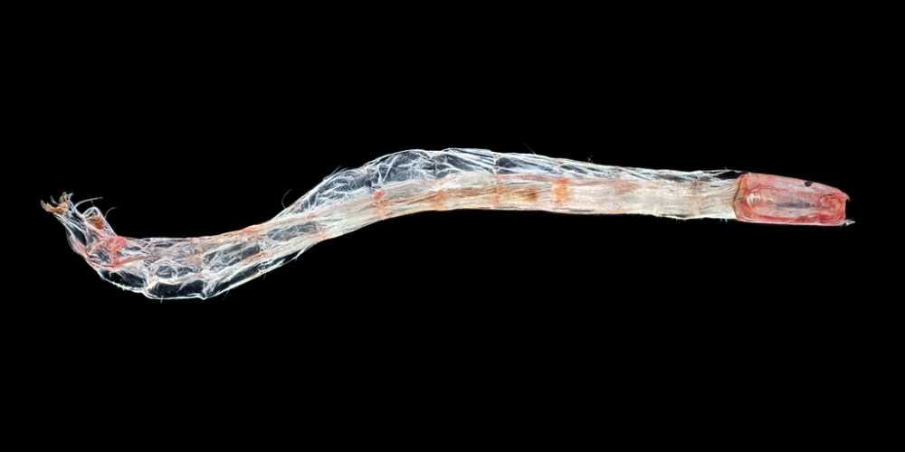 Chironomidae Larva