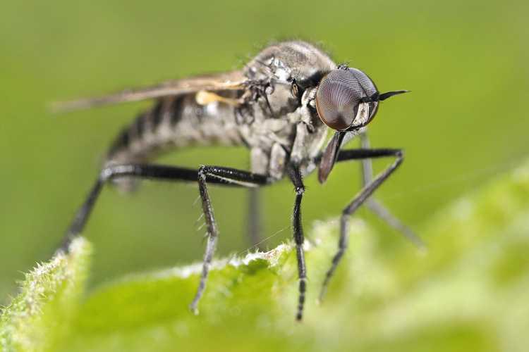 Daggerfly