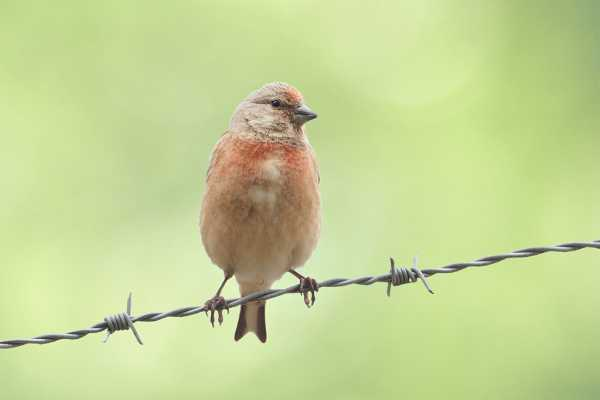 Common Linnet