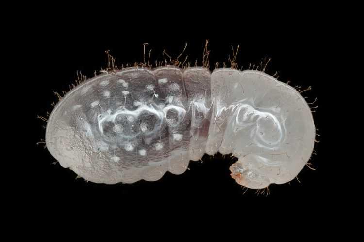 Ant Larva