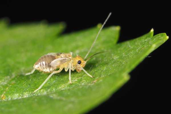 Booklouse Nymph