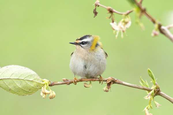 Common Firecrest