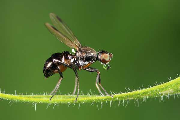 Black Scavenger Fly